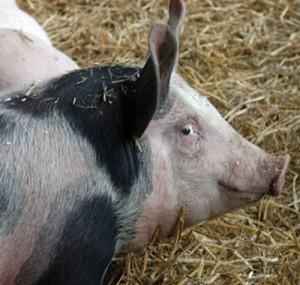 Pig-300x285