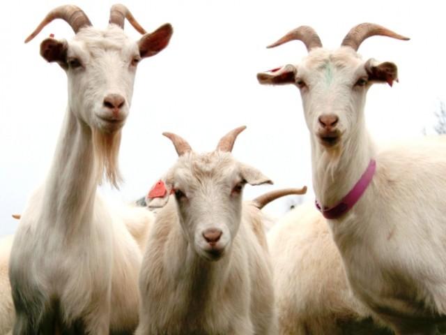 423491-goatsstock-1345221838-889-640x480
