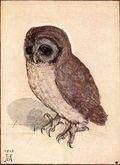 Little_owl