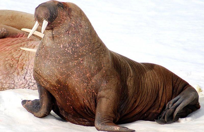Walrus 4