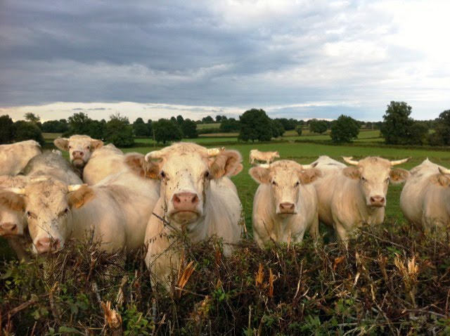 Giverny_WadeSchuman_ClassicFrenchCows