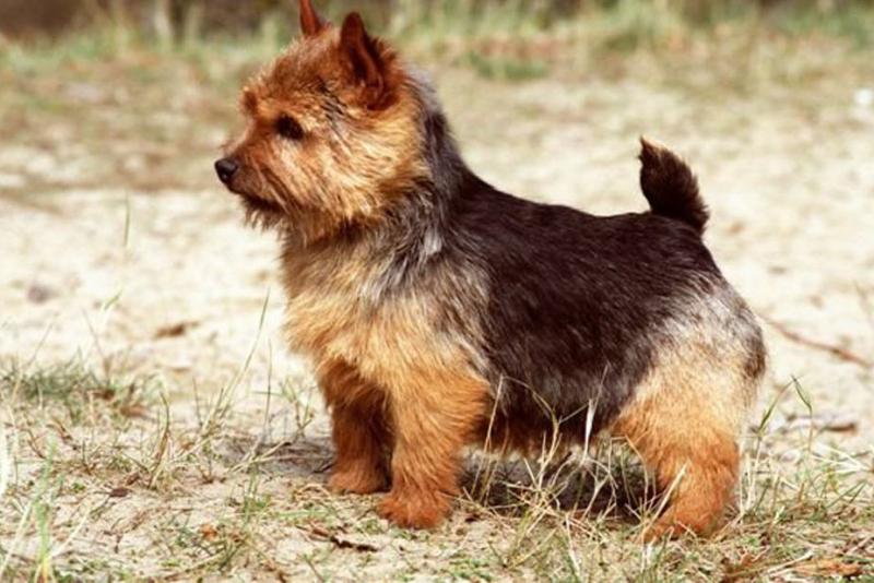 Norwich-terrier-3