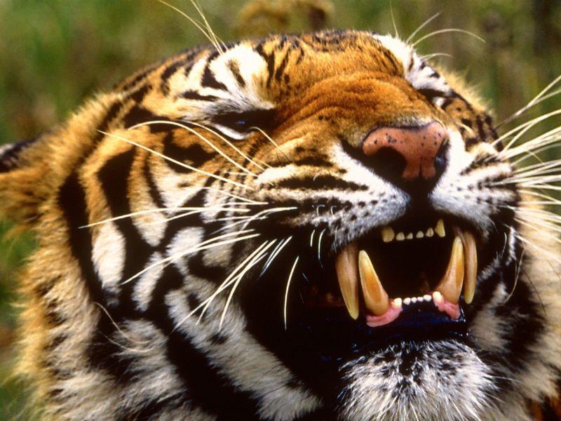 Bengal-tiger-wallpaper