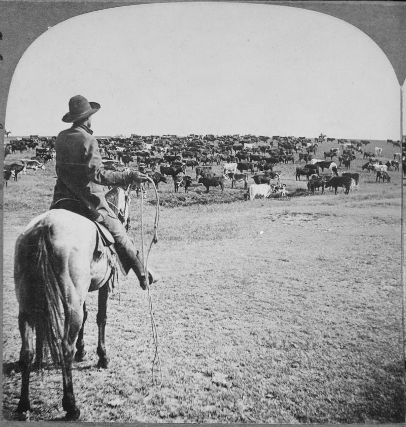 Roundup_on_the_Sherman_Ranch,_Genesee,_Kans._Cowboy_with_lasso_readied_looks_beyond_the_herd_on_the_open_range_to_his_fe_-_NARA_-_533791