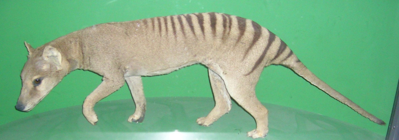 ThylacineOslo