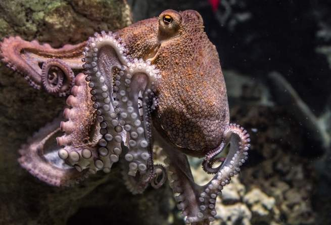 Octopus_on_rock