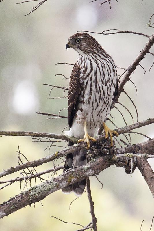 Cooper's_Hawk _Accipiter_cooperii _juvenile